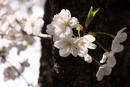 桜 2011