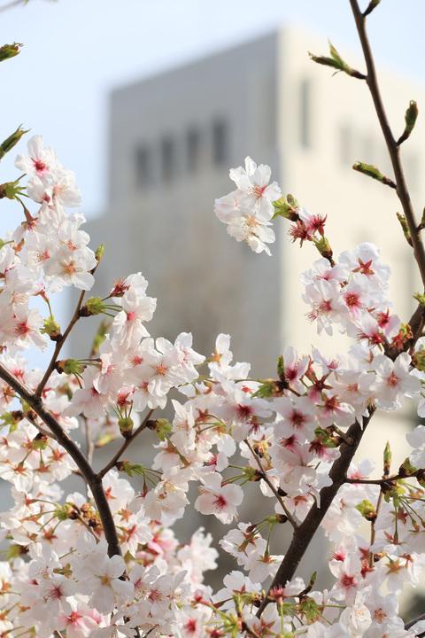 桜 2013